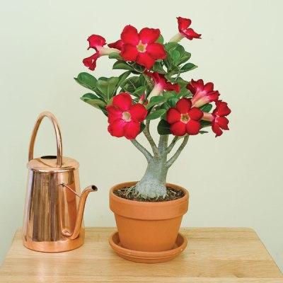 Адениум обесум цветение