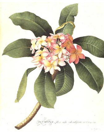 Плюмерия - Plumeria