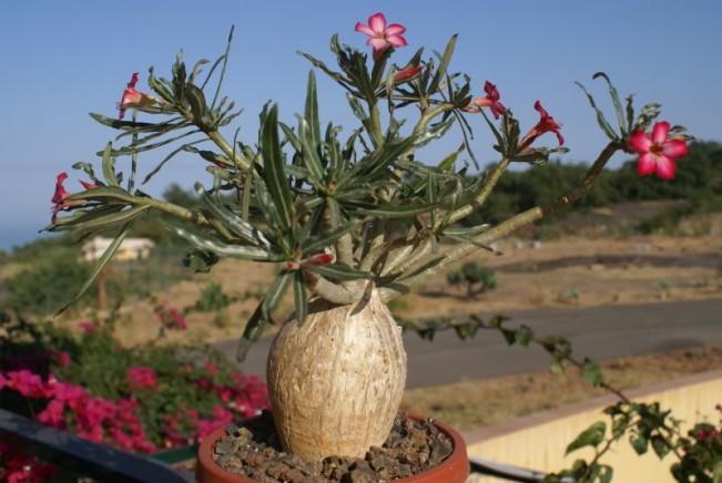 Adenium Somalense var. Nova - Адениум Сомаленсе Нова