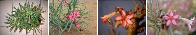 Adenium Somalense - Адениум Сомаленсе