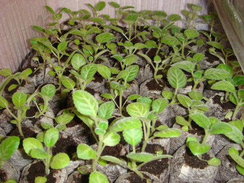 Как выращивать глоксинии из семян в домашних условиях
