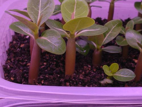Как вырастить кактус из семян. Уход за сеянцами 75