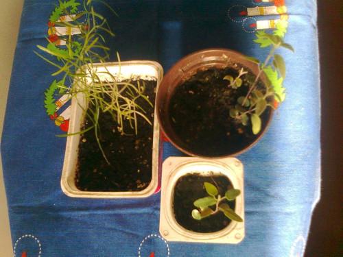 Выращивание из семян аспарагуса 87