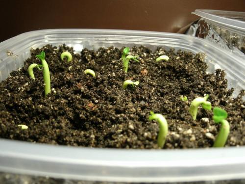 Прорастить семена на рассаду 687