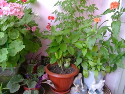 Кроссандра выращивание и уход 98
