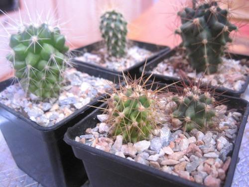 Как вырастить кактус из семян. Уход за сеянцами 49