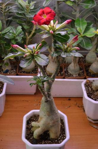 Адениумцветок выращивание 57