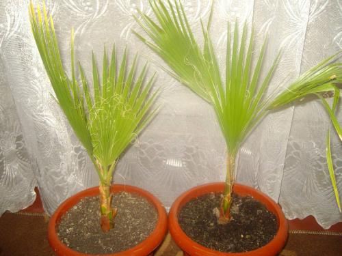 Как вырастить пальму из семян в домашних условиях фото