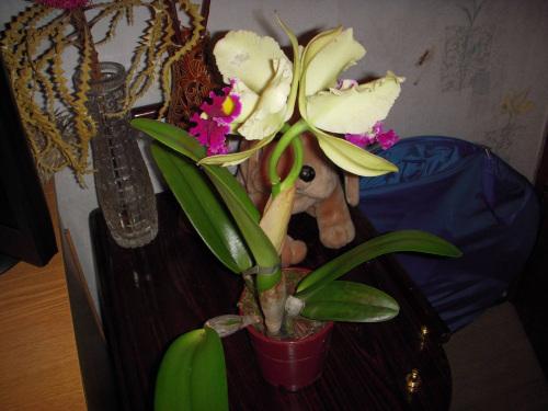 Почему не цветет орхидея в домашних условиях, а листья продолжают расти 37