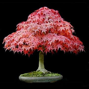 Как сделать кленовое дерево