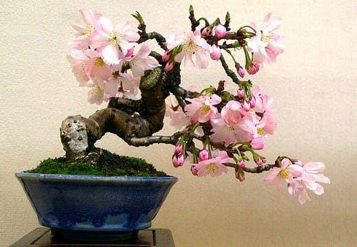 Условия для выращивания сакуры 904